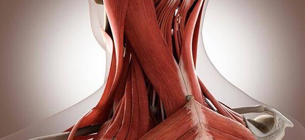 Мышцы шеи: грудино-ключично-сосцевидная мышца и другие ...