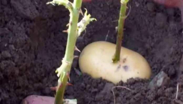 rose in a potato