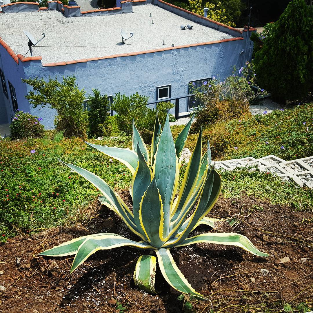 New agave plants in the back yard