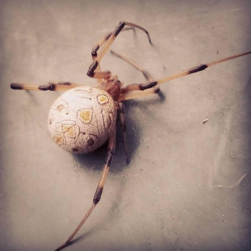 Eggshell spider 🕸🕷