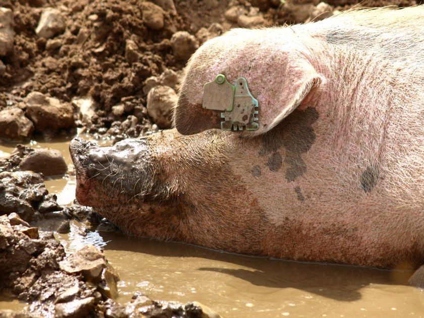 Headshot of a pig with a muddy snout sitting in a mud pond