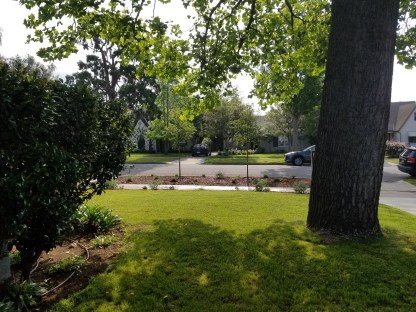View from our porch of the two new crepe myrtle trees