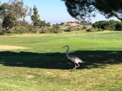 The course logo has a blue heron, so consider this the mascot cameo.