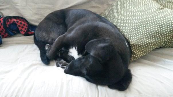 I call her the black bean when she sleeps like this.
