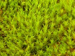 Polytrichum strictum moss bank, Green Island, Antarctic Peninsula.