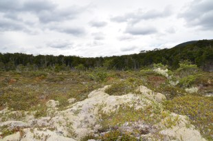 Lichens on the bog surface in Patagonia.