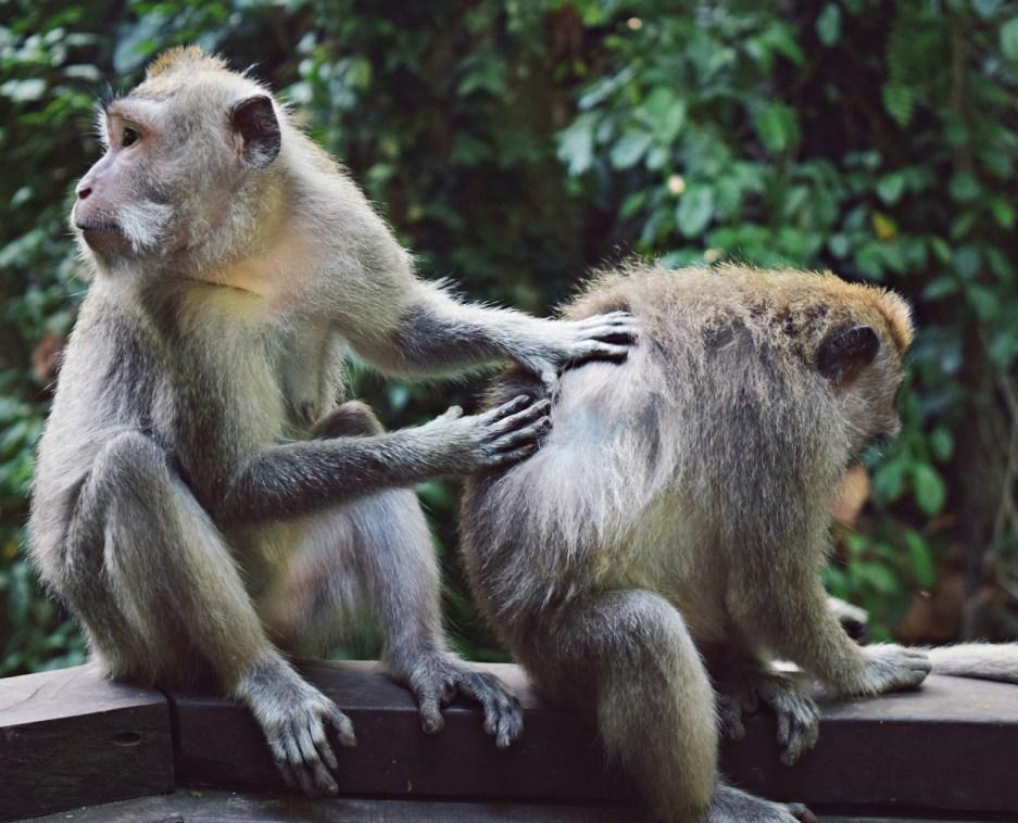 monkey grooming each other monkey forest ubud bali