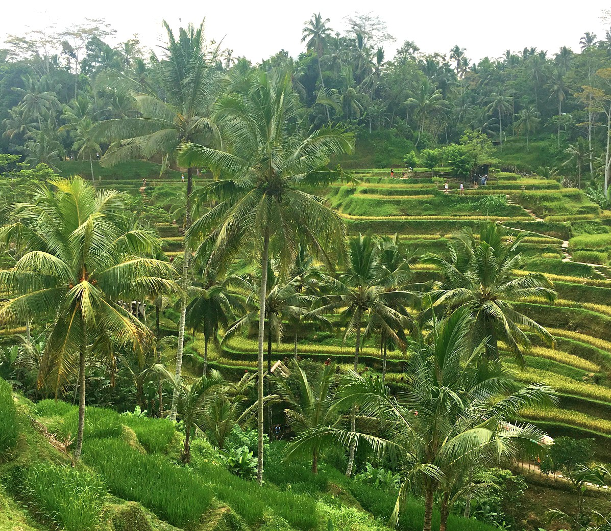 famous rice terraces ubud bali