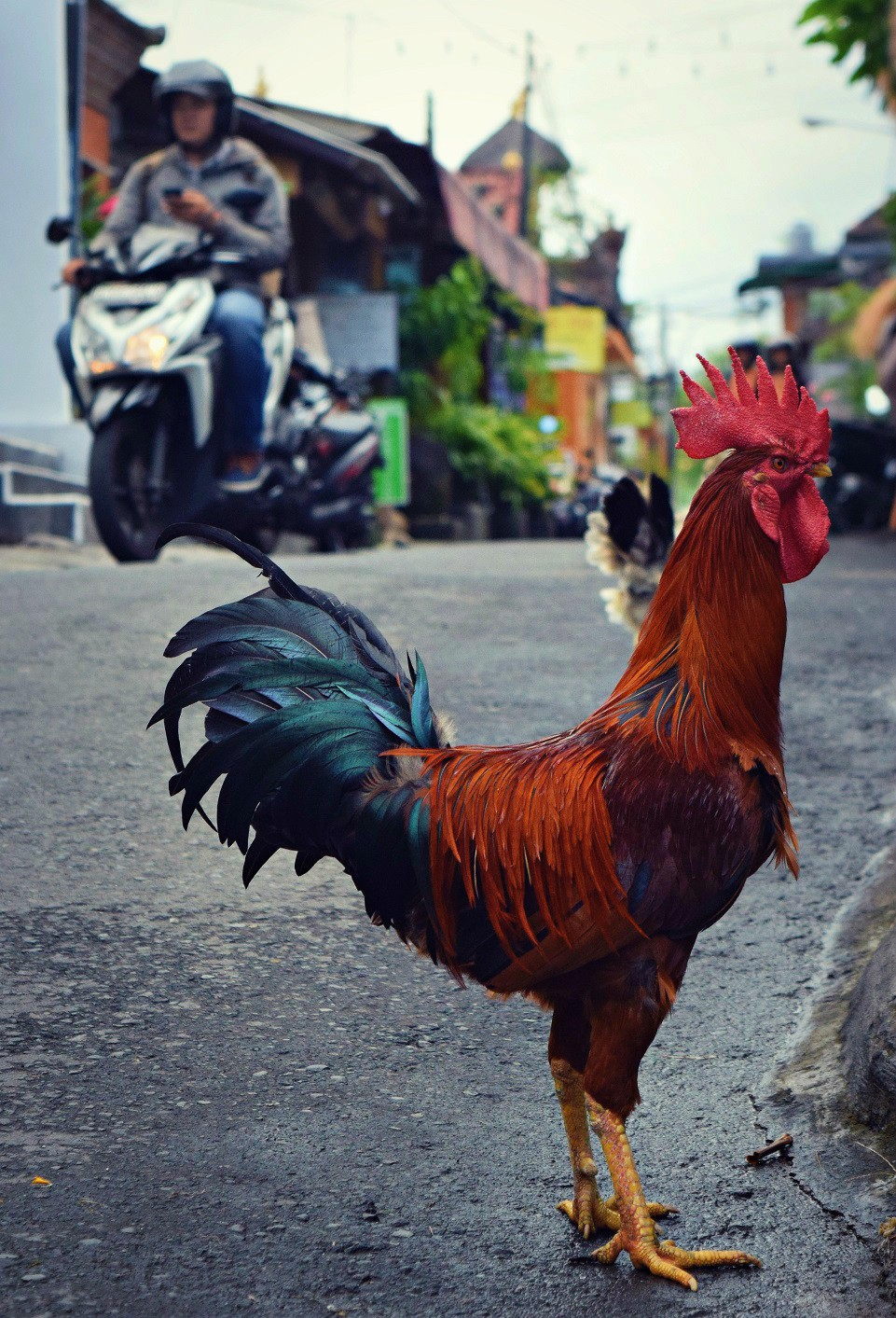 rooster crossing the street ubud bali