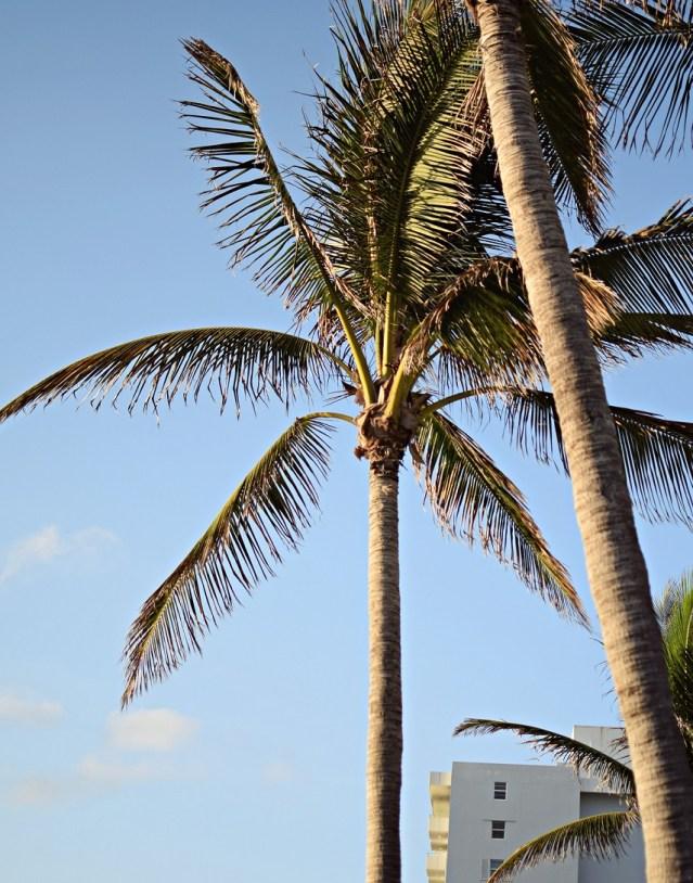 palm tree south beach miami