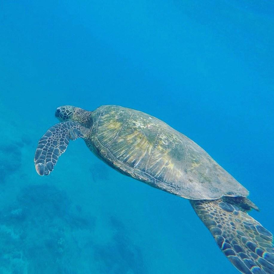babymoon maui hawaii swimming with sea turtles