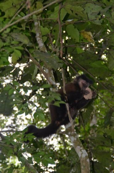 Monkey spotted - jaguar free walk