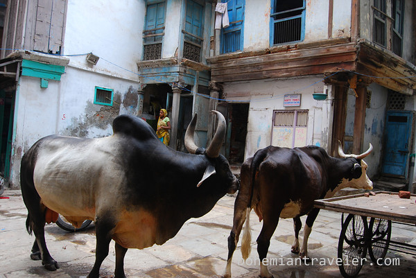 https://i1.wp.com/bohemiantraveler.smugmug.com/Travel/India/Ahmedabad/i-5PzbJFH/0/M/cows%20in%20old%20Ahmedabad-M.jpg