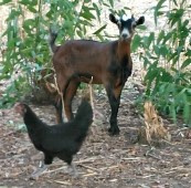 goat-and-chicken