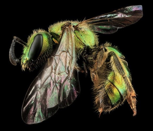 Augochlorella aurata Sam Droege USGS Bee Inventory