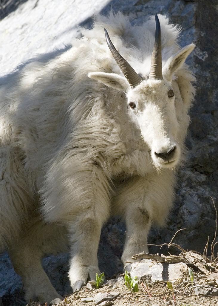 mountain_goat_myatt