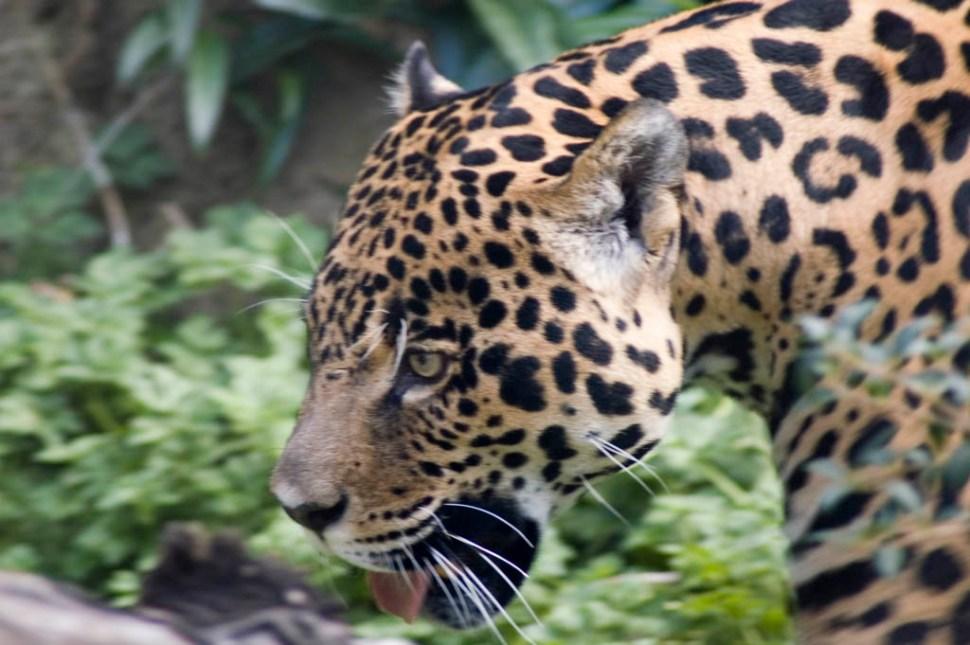 Jaguar Woodland Park Zoo