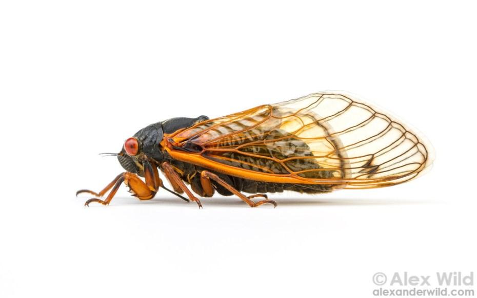 cassini periodical cicadas - photo #17