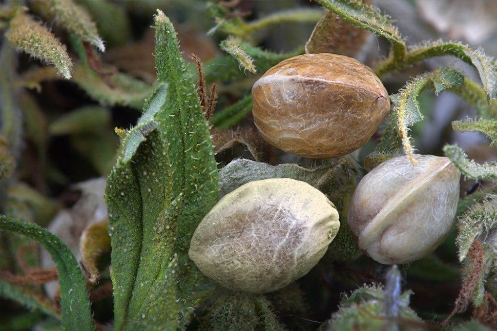 Hemp (cannabis) seeds and leaves. Shutterstock