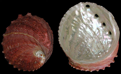 giant_red_abalone_natural