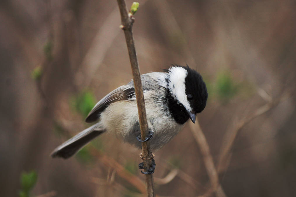 Photo of a chickadee by Geoffrey Gilmour-Taylor