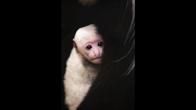 Baby colobus monkey is adorable