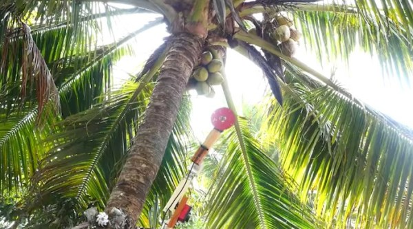 funny  funny news Coconut climbing and harvesting robot