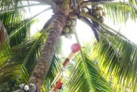Coconut climbing and harvesting robot