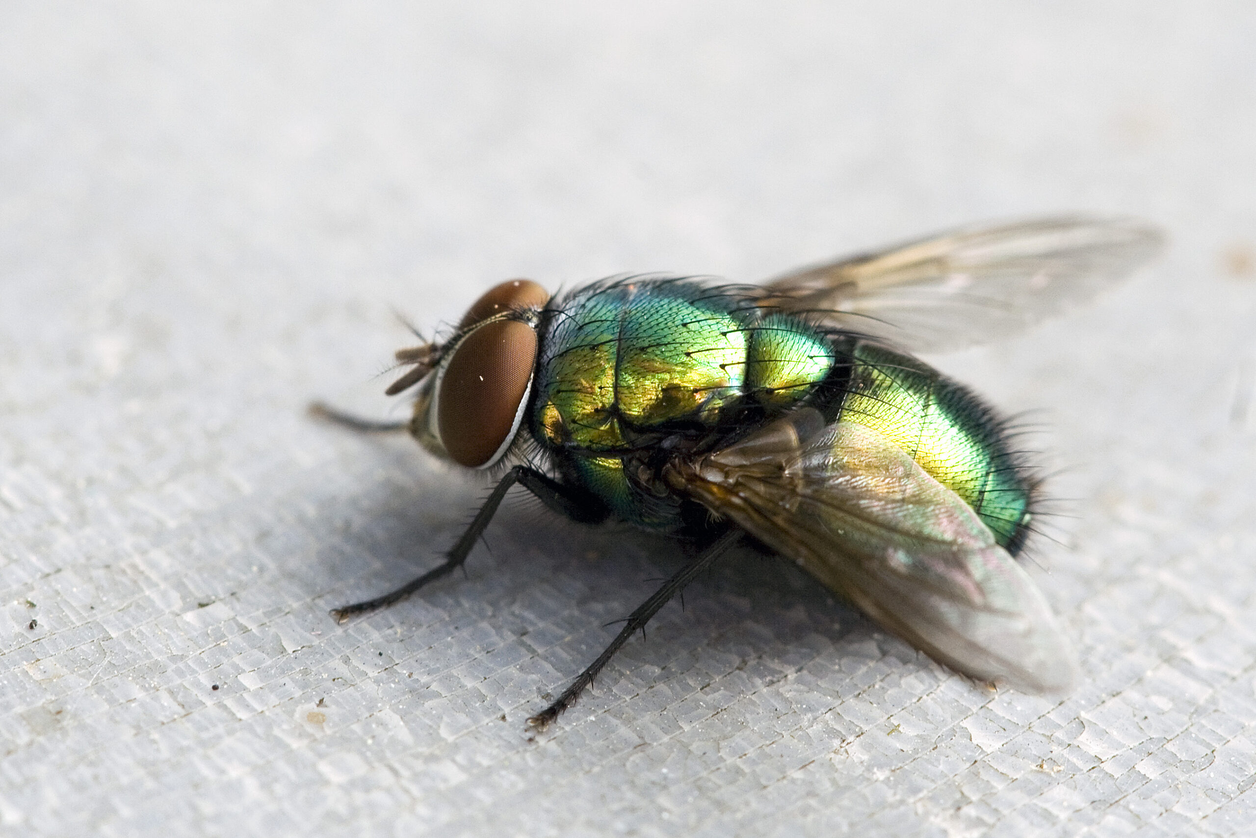 How flies are able to elude your fly swatter