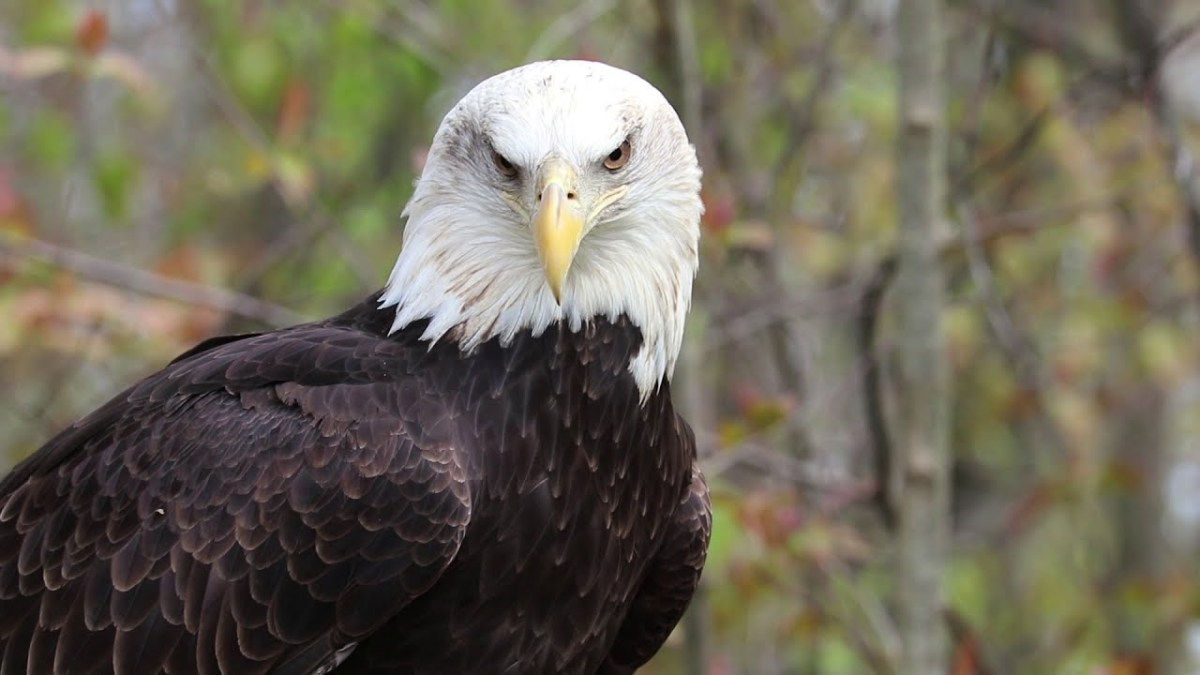 Raptors, up close and in focus – bald eagle, owl, vulture, more [VIDEO] | Boing Boing