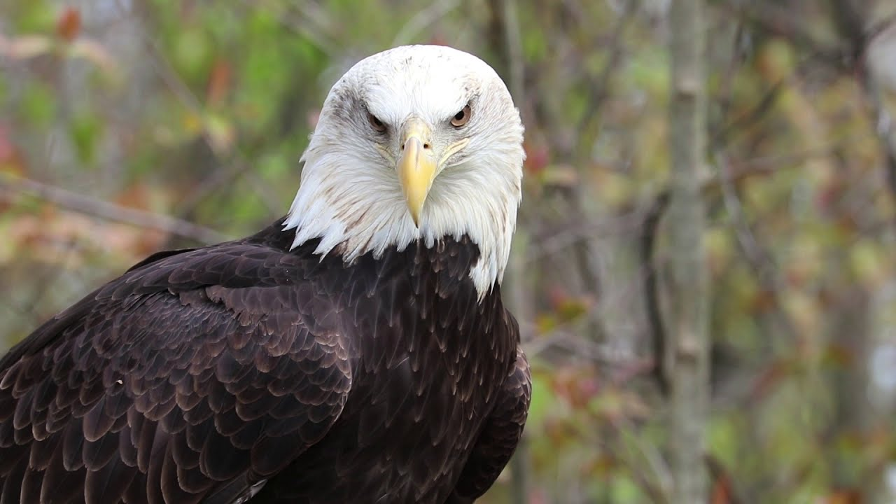 Raptors, up close and in focus bald eagle, owl, vulture, more [VIDEO]