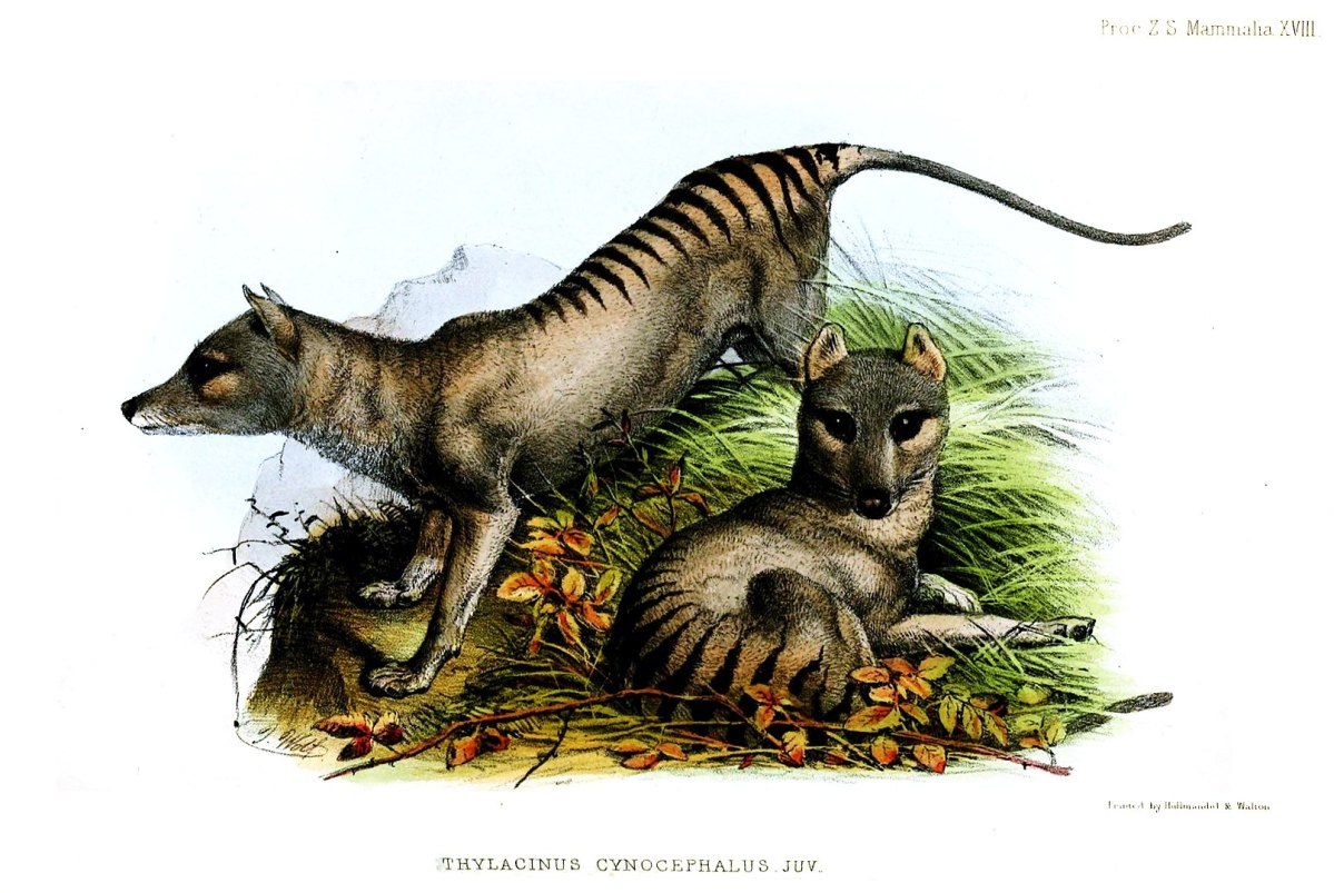 New sighting of a thylacine, a thought-to-be-extinct carnivorous marsupial | Boing Boing
