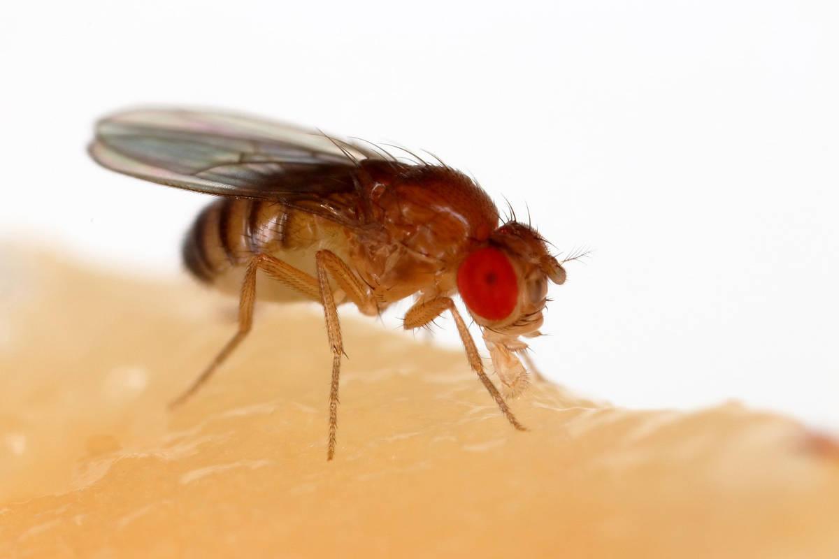 Photo of Drosophila