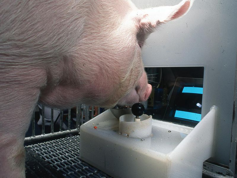 Photo of pig playing a video game