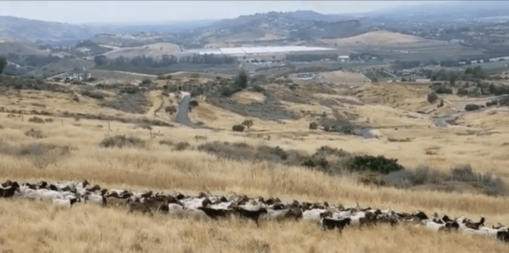 Firefighting goats dispatched to the Ronald Reagan Presidential Library