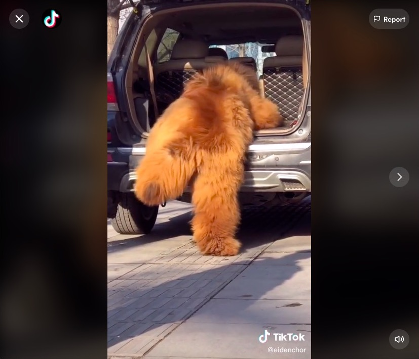 Watch: This adorable 300-pound Tibetan mastiff trying to climb into car looks more bear than dog | Boing Boing
