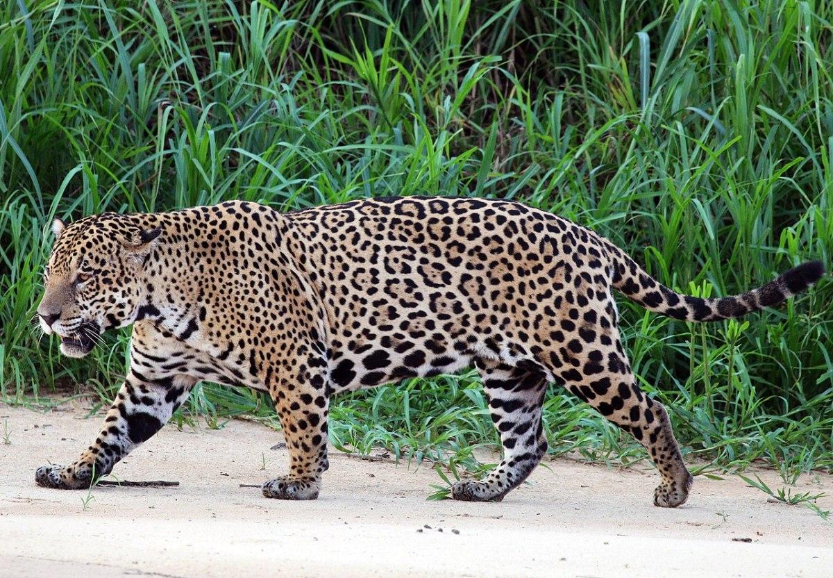 Florida man injured after entering a jaguar enclosure | Boing Boing