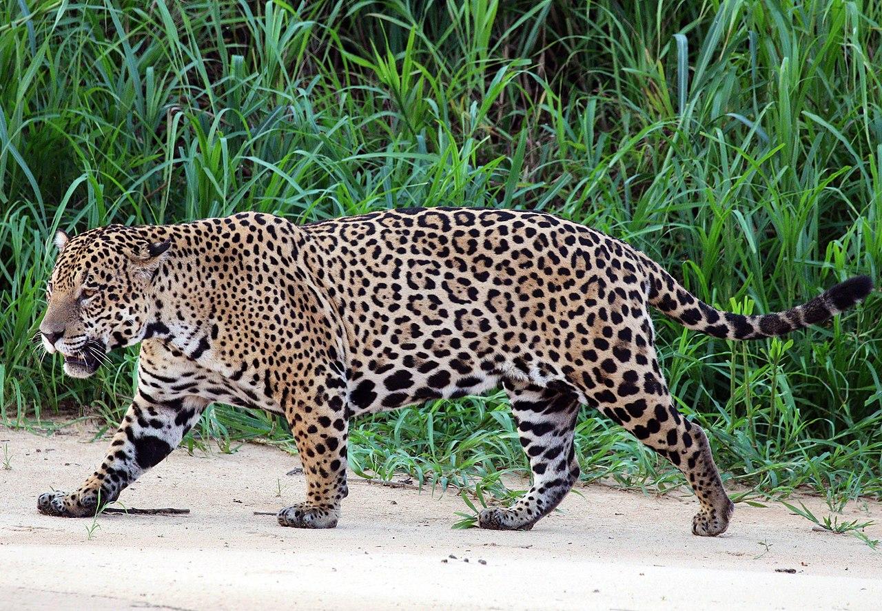 Florida man injured after entering a jaguar enclosure