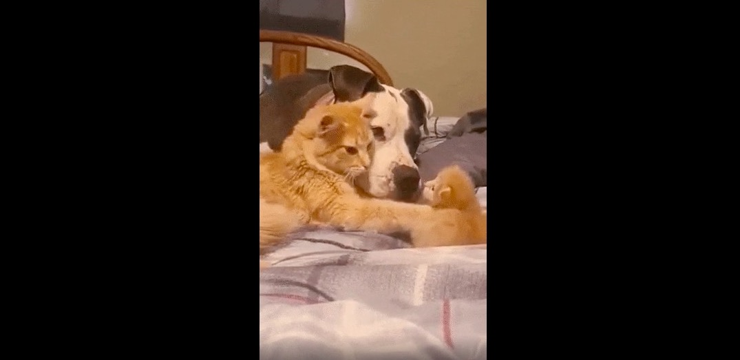 A mama cat shows the family dog how to be gentle with her 1-week-old kitten in adorable video   Boing Boing