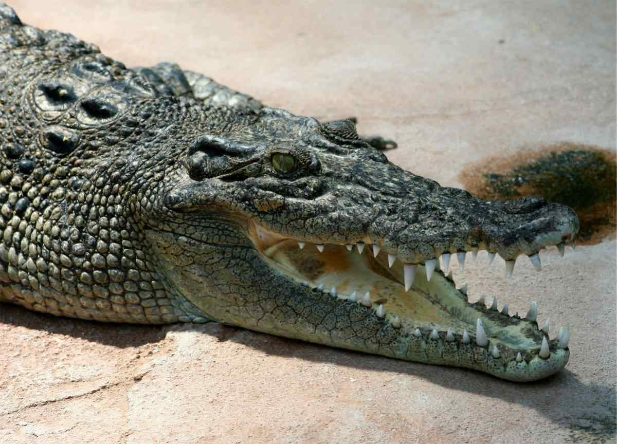 Crocodile dragged vacationing teen into ocean. Fortunately, she escaped its clutches. | Boing Boing