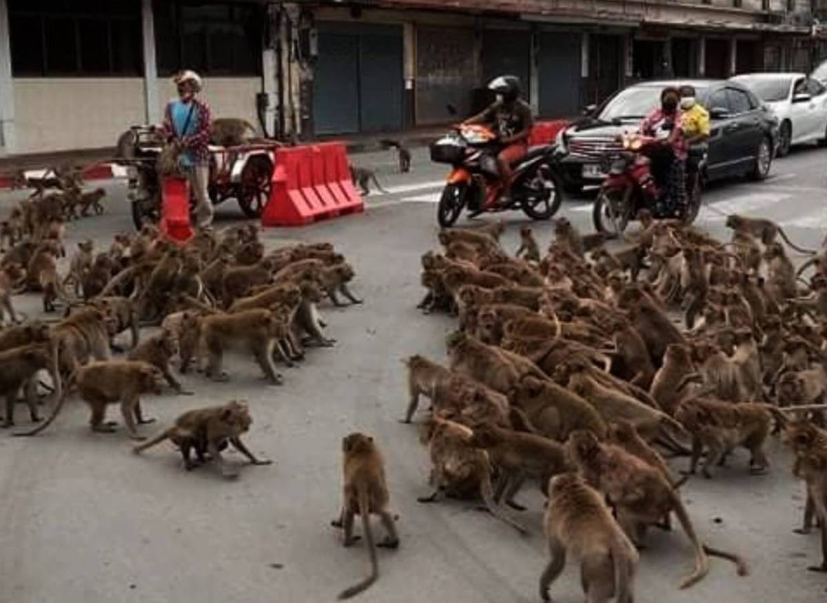 Watch the epic battle between hundreds of monkeys that stopped traffic in Thailand | Boing Boing