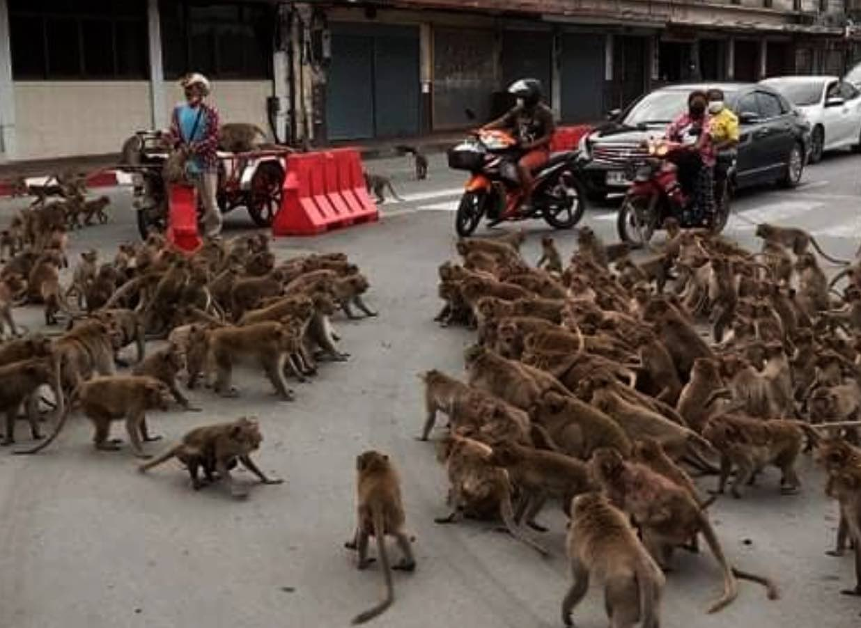 Watch the epic battle between hundreds of monkeys that stopped traffic in Thailand