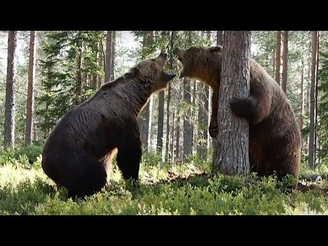 Camera crew films an incredible fight between two bears | Boing Boing