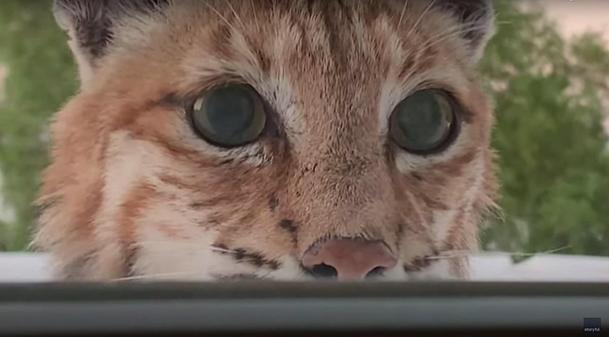 A magnificent bobcat stares down a couple through their window | Boing Boing