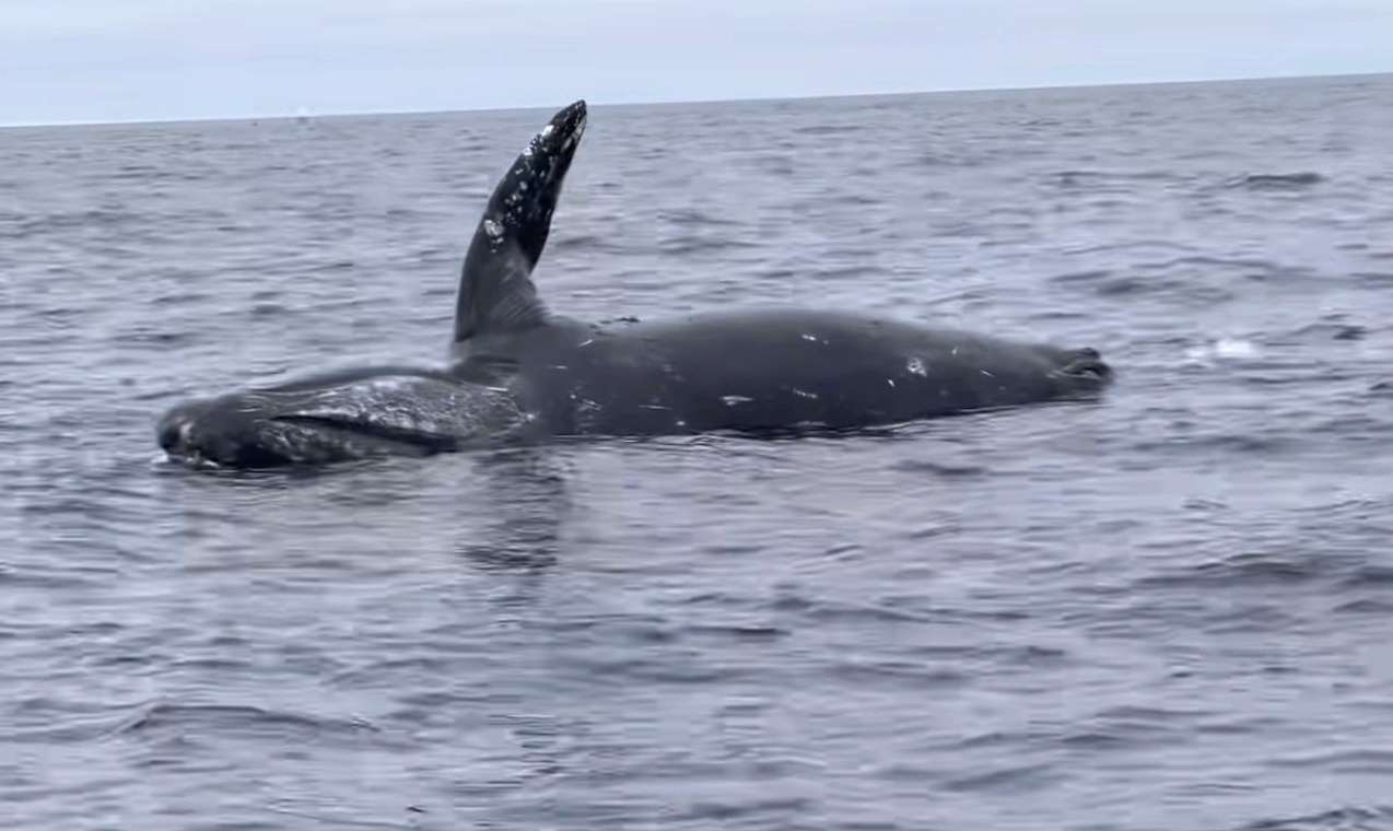Watch: dead whale explodes (without human)