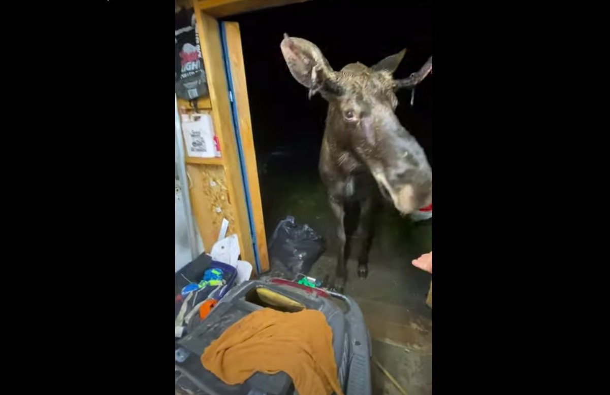 A moose crashes a hangout and doesn't want to leave