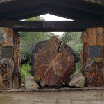 Kathryn Albertson Park Ponderosa Pine Tree