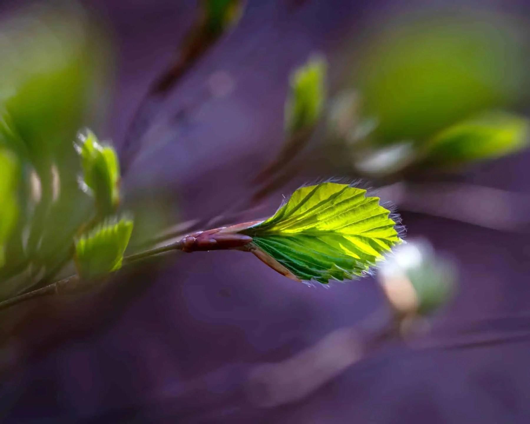 wiosenne młode liście makrofotografia natury - Zasady kompozycji - przewodnik po 20 regułach