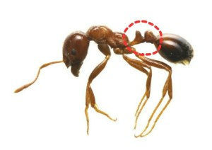 fire-ant-3