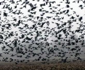 SCP-1505 - Paradoxical Avian Propagation (鳥類異常繁殖)